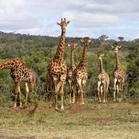Giraffe Study: BRP007 - BRP011